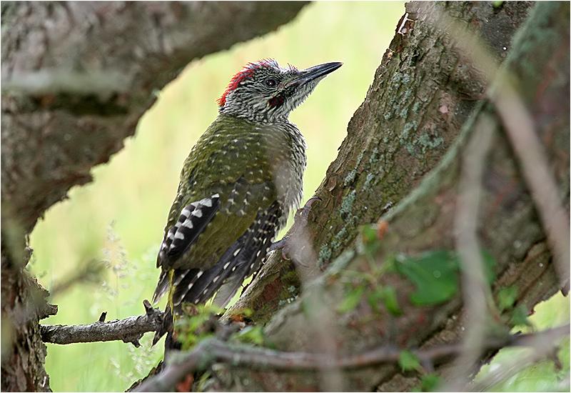 Gröngöling (Green Woodpecker) på norra Strandängen, Stora Amundö