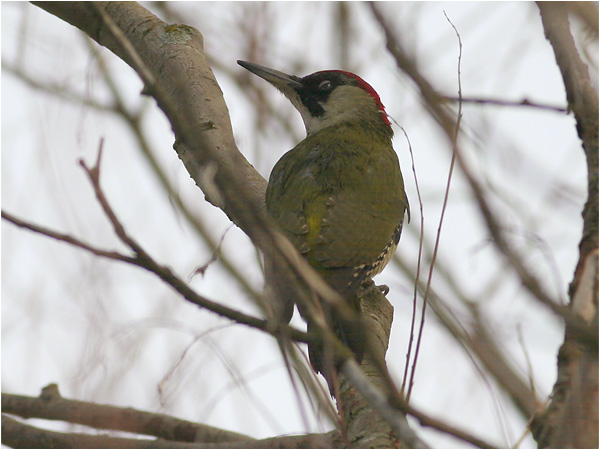 Gröngöling (Green Woodpecker) vid Stora Amundö