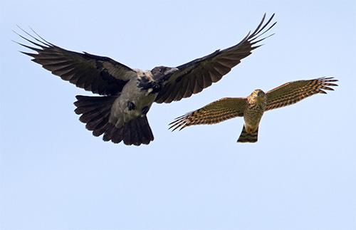 Kråka och sparvhök vid Havshuvudet, Stora Amundö