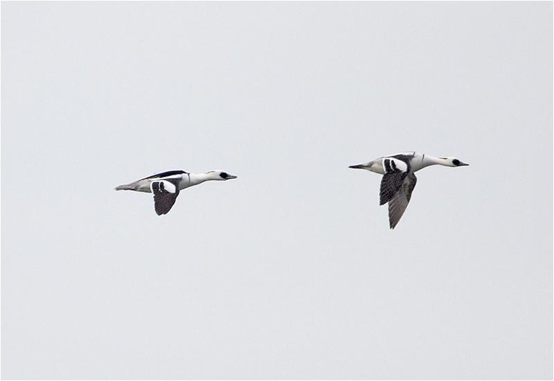 Salskrake, 2 förbiflygande hanar, Killingsholmen