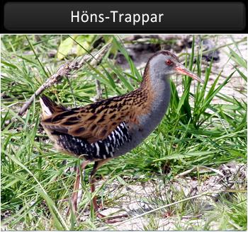 Höns-Trappar