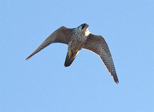 Överflygande pilgrimsfalk vid Havshuvudet, Stora Amundö
