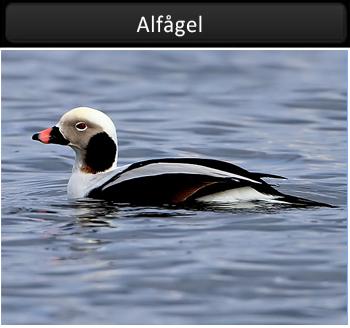 Alfågel