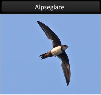 Alpseglare