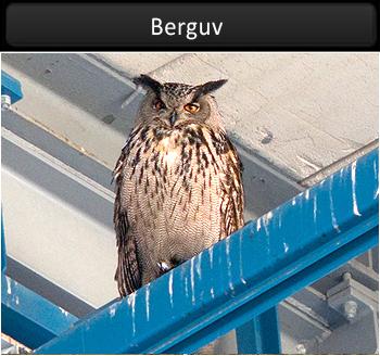 Berguv