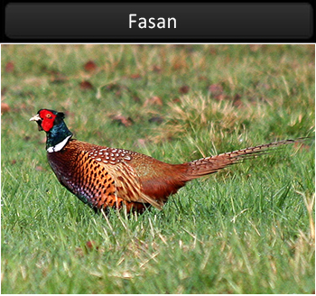 Fasan