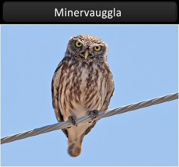 Minervauggla