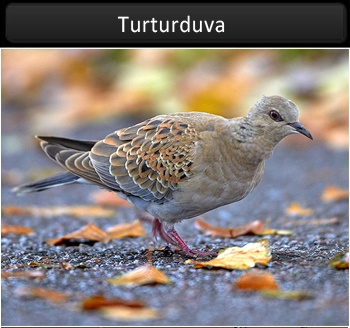 Turturduva
