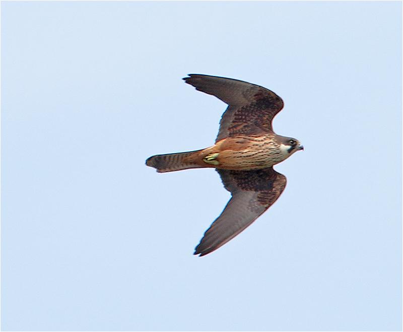 Eleonorafalk (Falco eleonorae) Eleonora's falcon, S'Albufera Natural Park, Mallorca