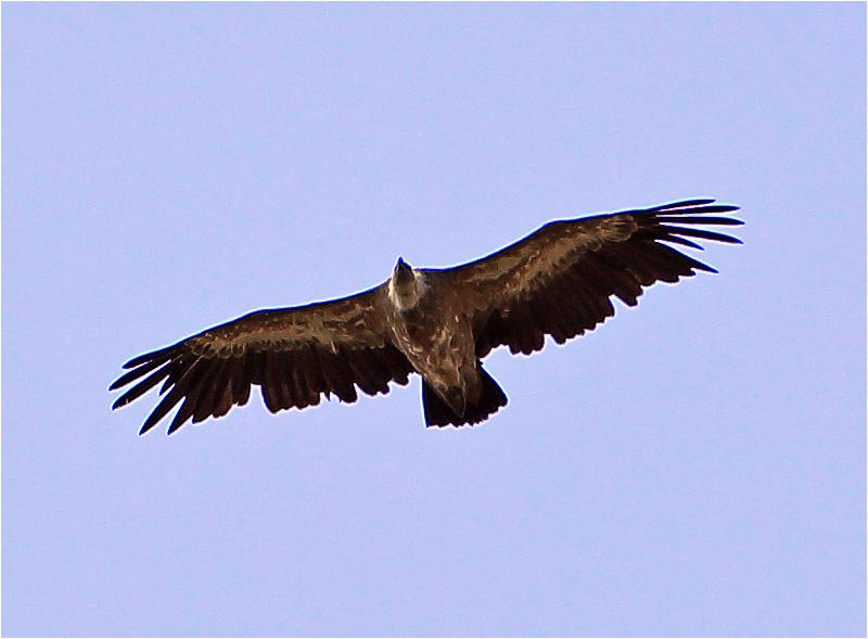 Gåsgam (Gyps Fulvus) Griffon Vulture väster om Pollenca, Mallorca, Spanien