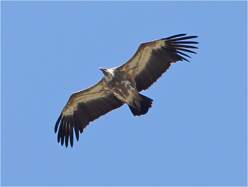 Gåsgam (Gyps Fulvus) Griffon Vulture Escorca, Mallorca