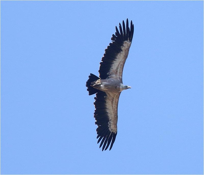 Gåsgam (Gyps Fulvus) Griffon Vulture Tramuntanabergen, Mallorca