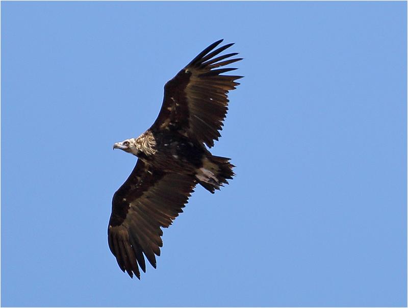 Grågam (Aegypius monachus) Black Vulture, väster om Pollenca, Mallorca