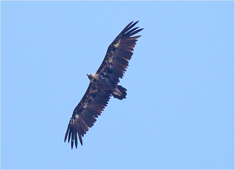 Grågam (Aegypius monachus) Black Vulture, väster om Pollenca, Mallorca, Spanien