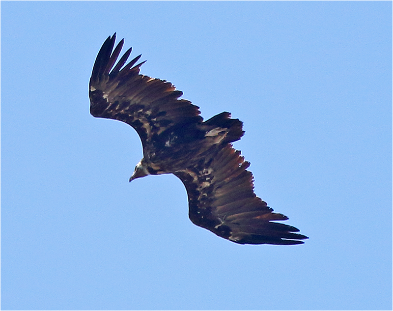 Grågam (Aegypius monachus) Black Vulture, Pantà de Gorg Blau, Mallorca