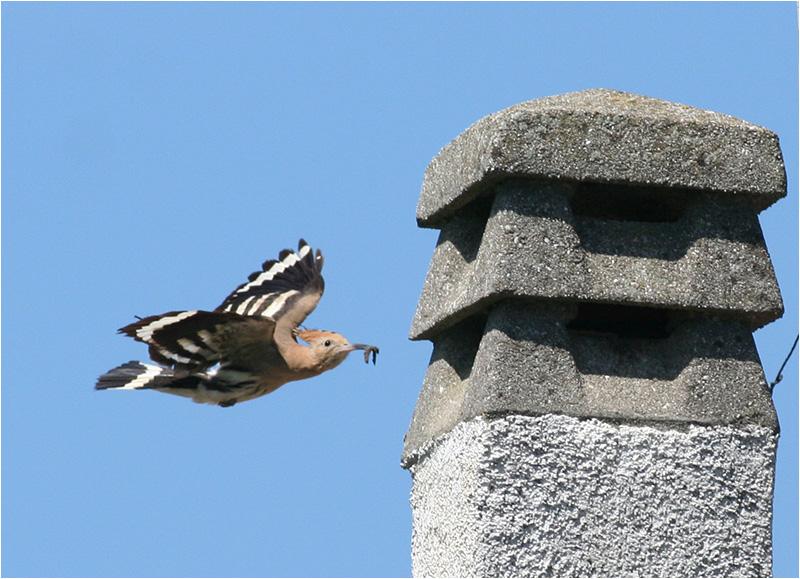 Härfågel (Upopa epops) Hoopoe, Cavallino, Italien