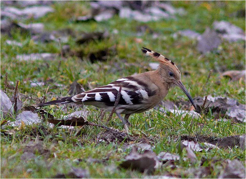 Härfågel (Upopa epops) Hoopoe, Norrmanneboslätten, norr om Kungälv
