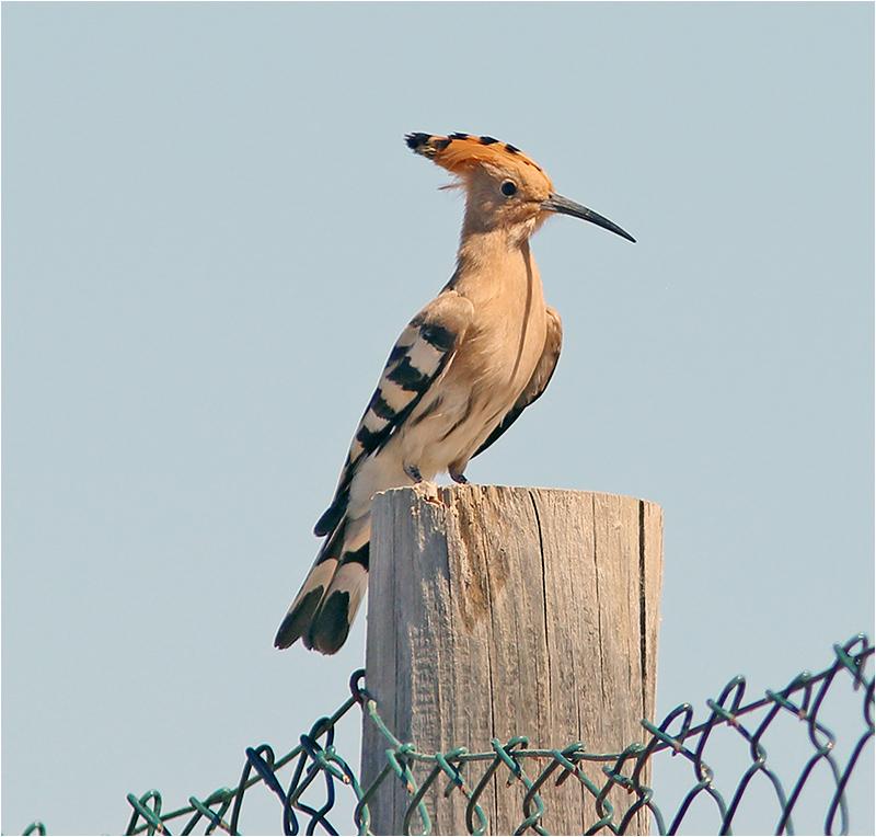 Härfågel (Upopa epops) Hoopo, S'Albufera Natural Park, Mallorca