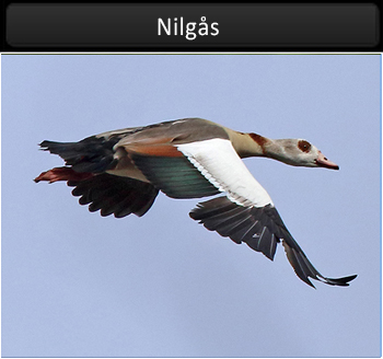 Nilgås