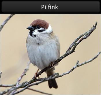 Pilfink