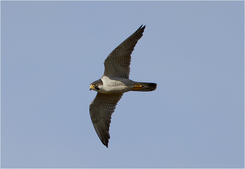 Pilgrimsfalk (Falco peregrinus) Peregrine Falcon vid Kolabacken, Falsterbo