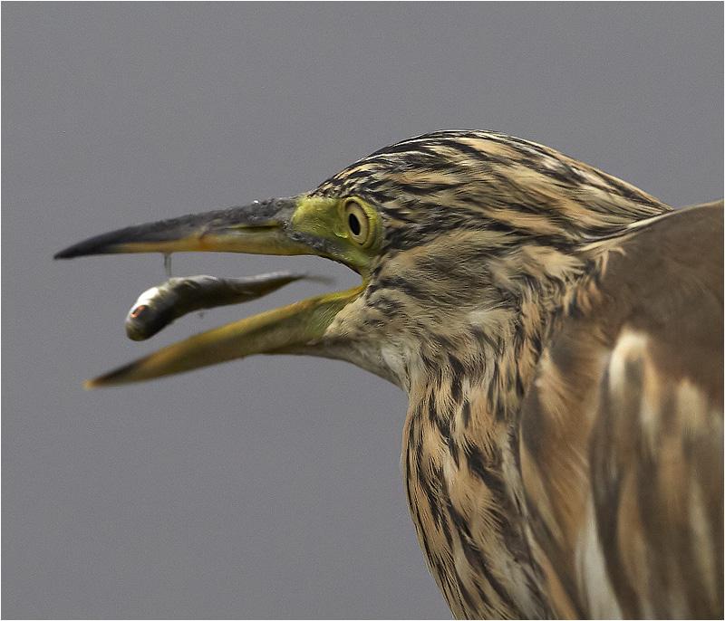 Rallhäger (Squacco Heron), Rocksjön, Jönköping