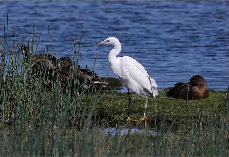Silkeshäger (Little Egret Heron), Välen, Göteborg