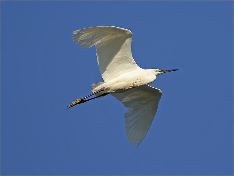 Silkeshäger (Little Egret Heron), S'Albufera Natural Park, Mallorca