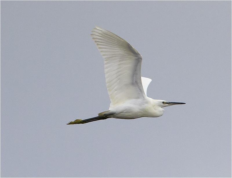 Silkeshäger (Little Egret Heron), Tjolöholm, Kungsbacka