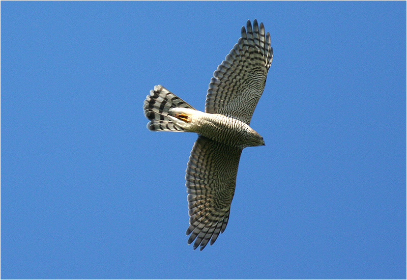 Sparvhök (Accipter nisus) Sparrowhawk vid Getterön, Varberg