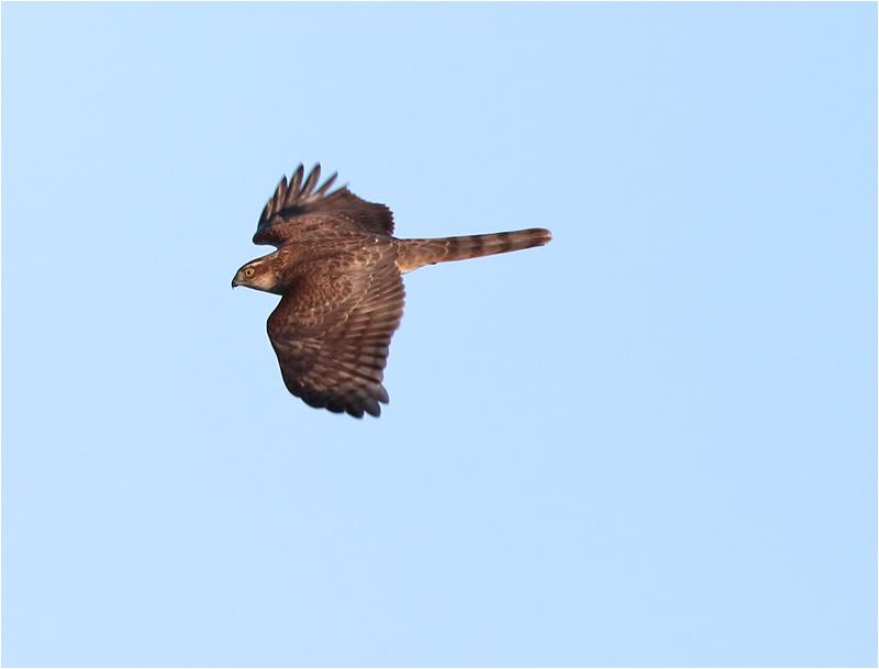 Sparvhök (Accipter nisus) Sparrowhawk vid Ölands Södra Udde