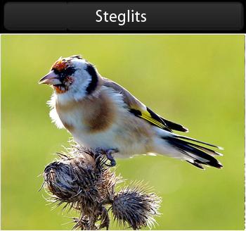 Steglits (Common Goldfinch) längs Fyrvägen Ölands Södra Udde