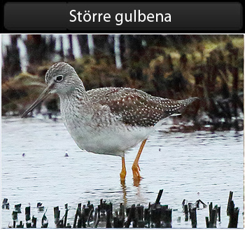 Större gulbena (Greater Yellowlegs)