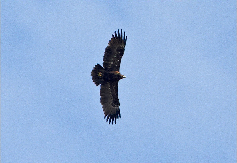 Större skrikörn (Greater Spotted Eagle), Kolabacken, Falsterbo