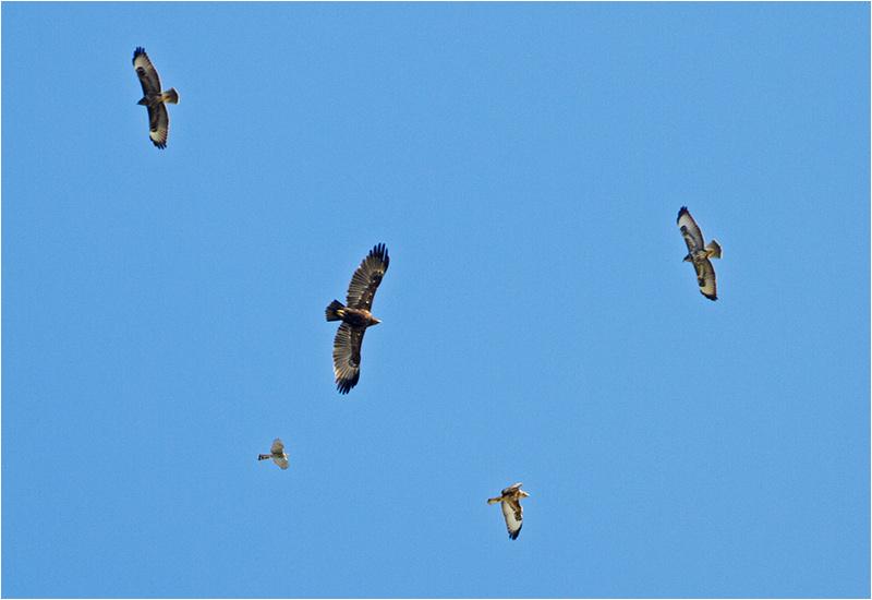 Större skrikörn (Greater Spotted Eagle), Kolabacken, Falsterbo