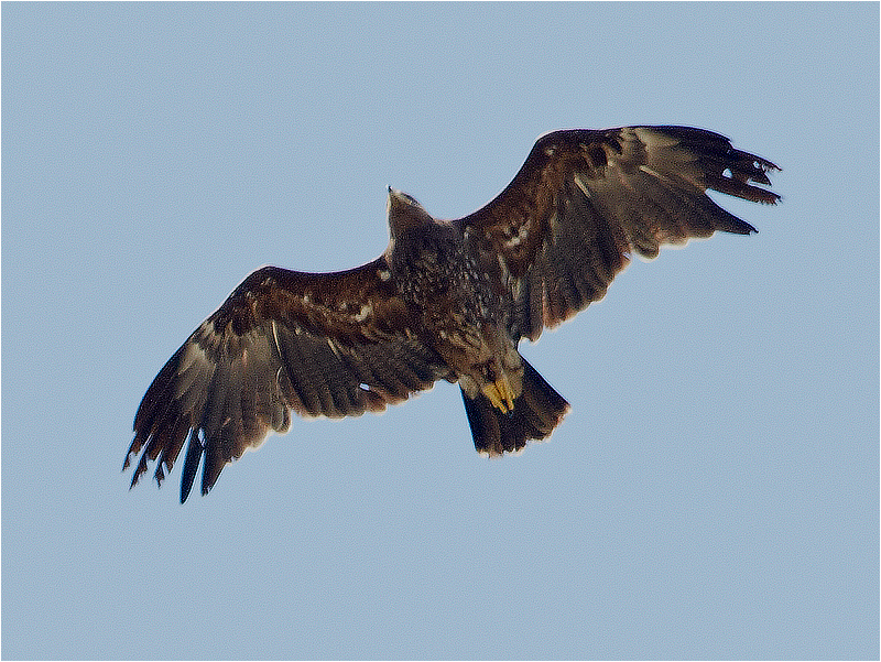 Större skrikörn (Greater Spotted Eagle), Södra Bårby, Öland