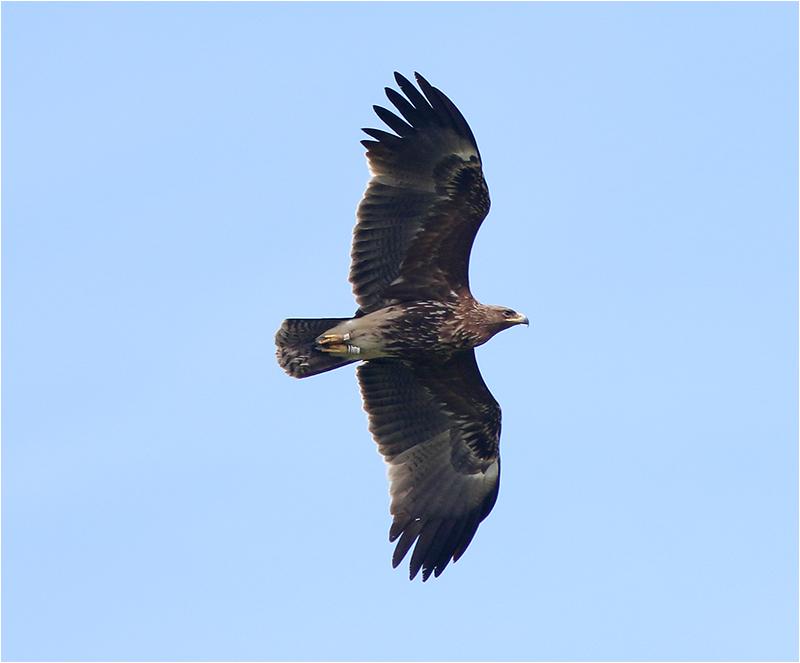Större skrikörn (Greater Spotted Eagle), Triberga, Öland