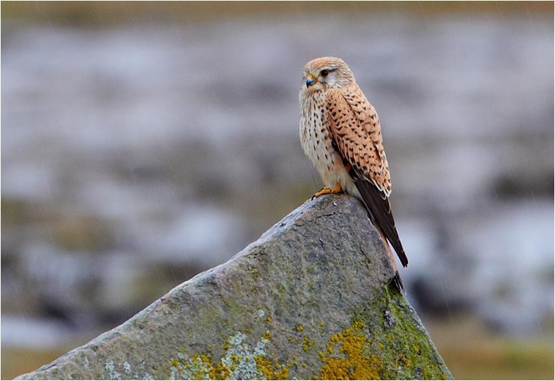 Tornfalk (Falco tinnunculus) Common Kestrel, Vallda Sandö, Kungsbacka