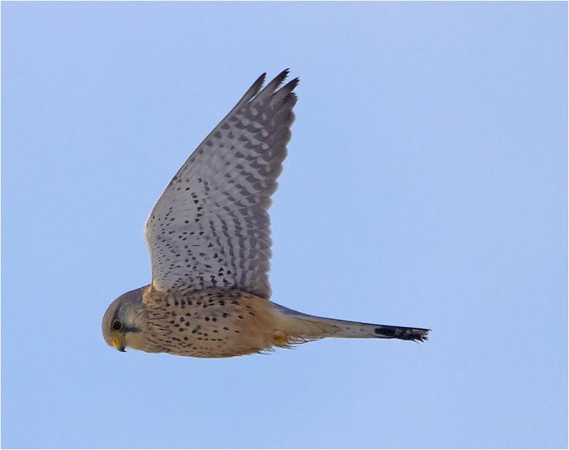 Tornfalk (Falco tinnunculus) Common Kestrel, Morups Tånge, Halland