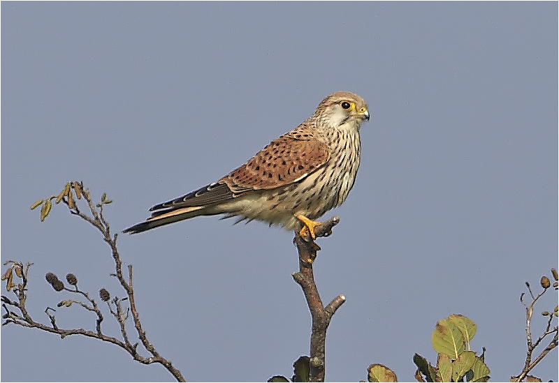 Tornfalk (Falco tinnunculus) Common Kestrel, Kolabacken, Falsterbo