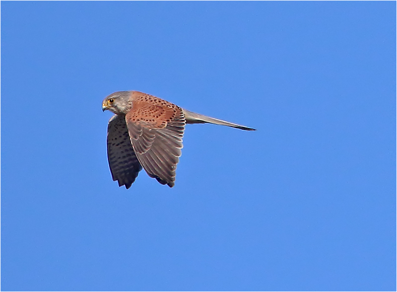 Tornfalk (Falco tinnunculus) Common Kestrel, Munkagårdsfloen, Halland