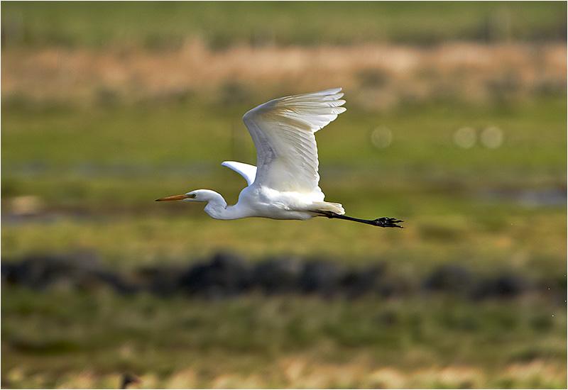 Ägretthäger (Great white Heron), Båtafjorden, Halland