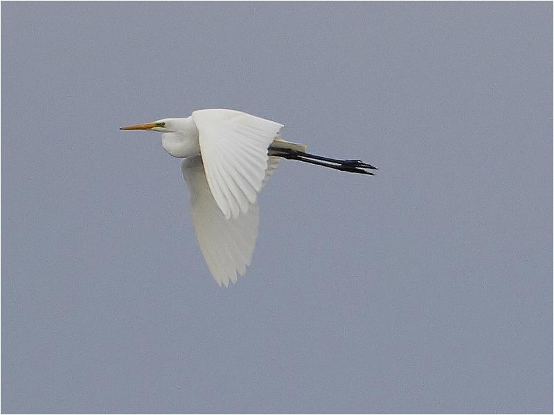 Ägretthäger (Great white Heron), Tjolöholm, Halland