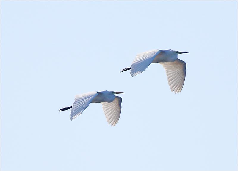 Ägretthäger (Great white Heron), Ölands Södra Udde, Öland