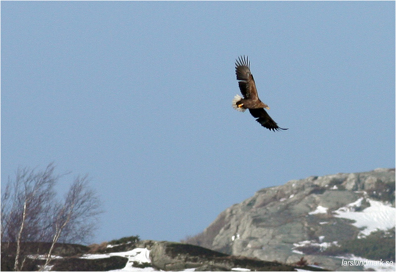 Havsörn (White-tailed Eagle), Killingholmen, söder Göteborg