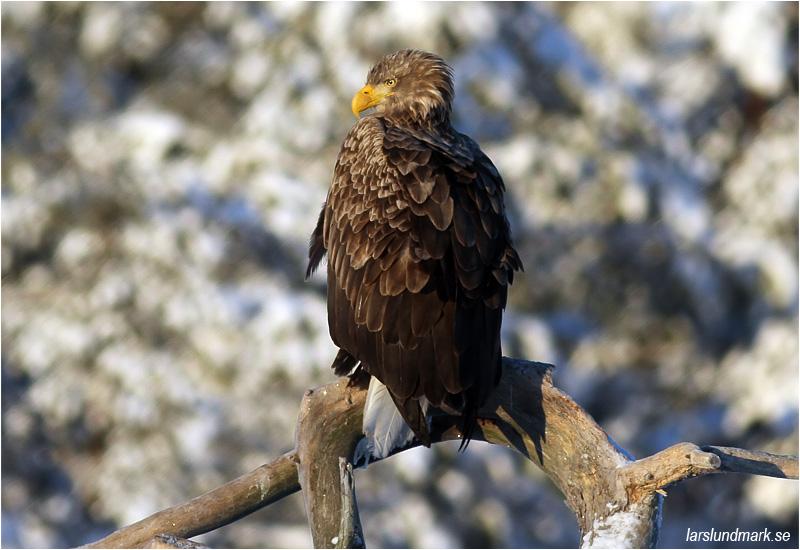 Havsörn (White-tailed Eagle), Värmland