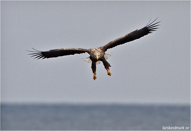 Havsörn (White-tailed Eagle), Sebybadet, Öland