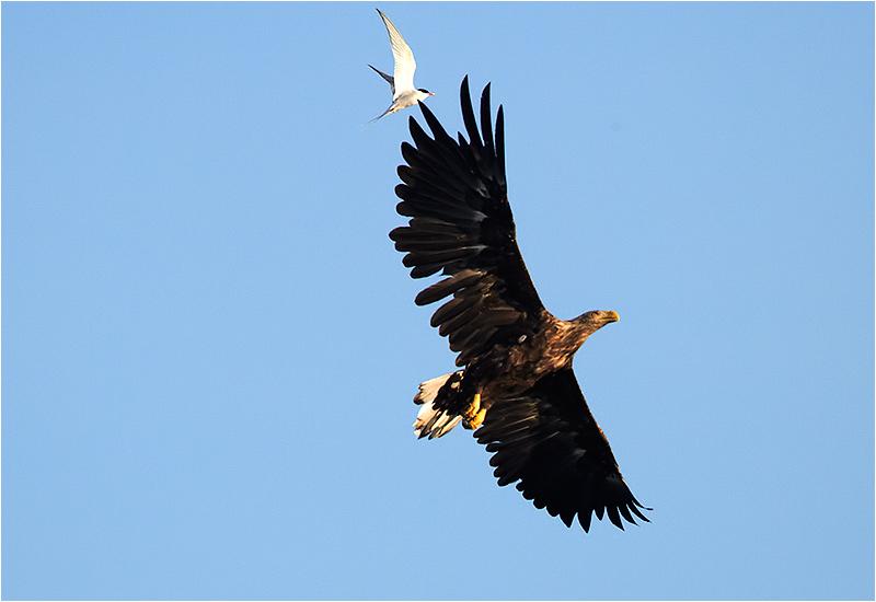Havsörn (White-tailed Eagle), Fyrvägen, Ottenby, Öland