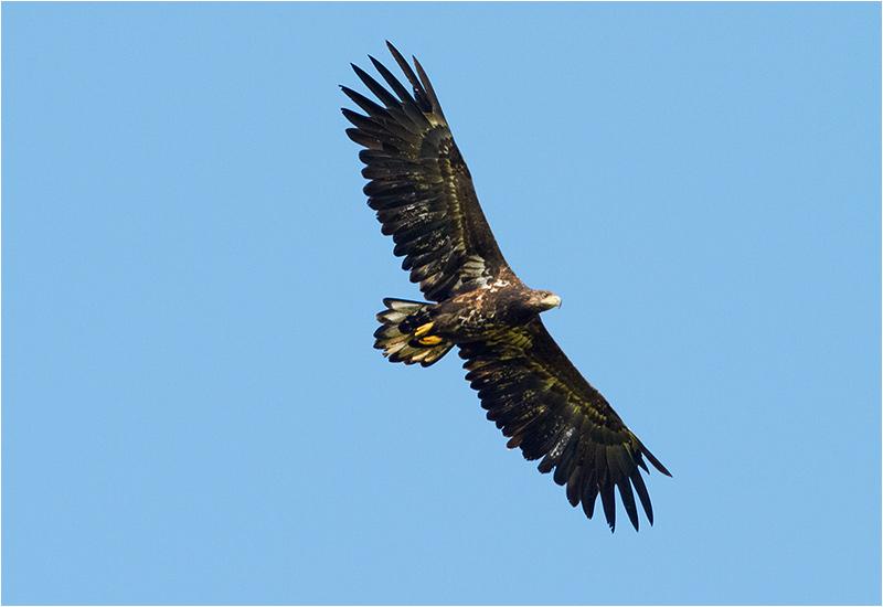 Havsörn (White-tailed Eagle), Norr Ventlinge, Öland