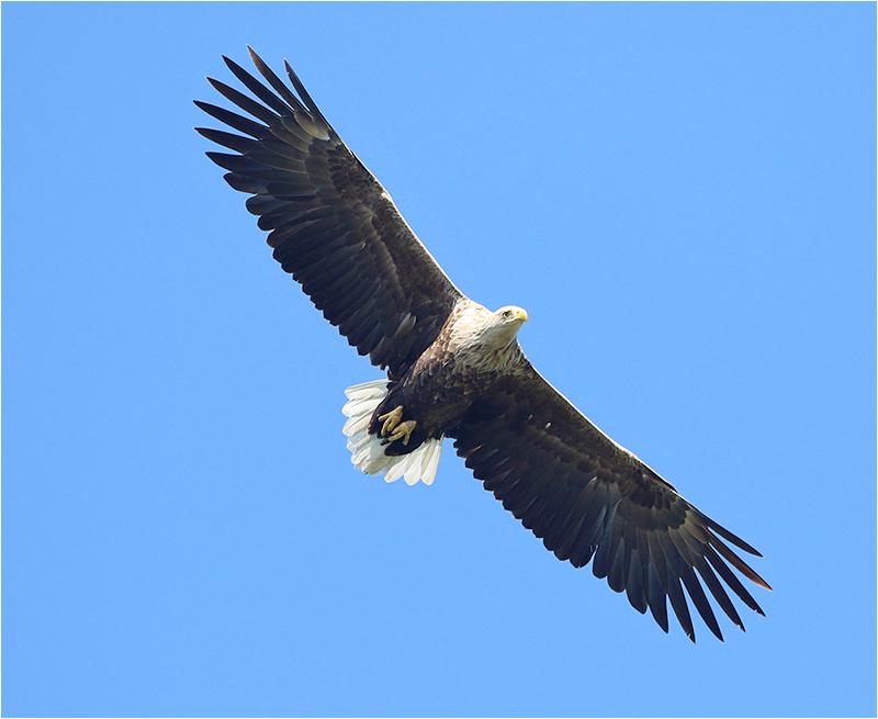 Havsörn (White-tailed Eagle), Sibyllas, Ottenby, Öland